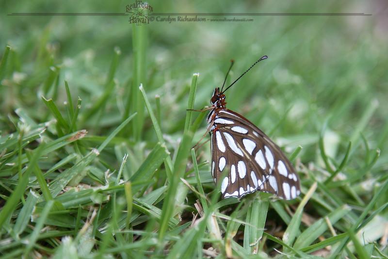 Butterfly - Gulf Fritillary