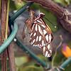 Emerging Butterfly - Gulf Fritillary
