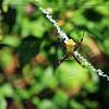 Hawaii Garden Spider