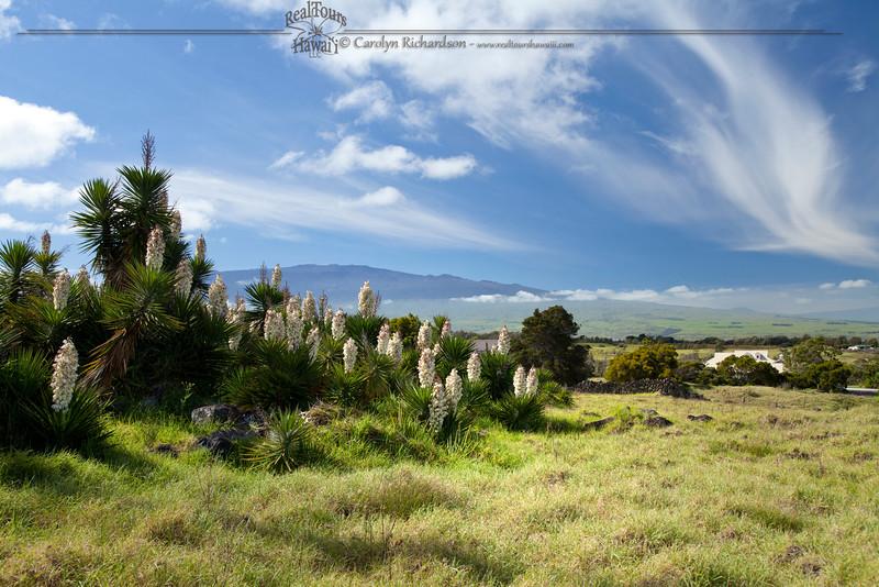 Mauna Kea from Waimea