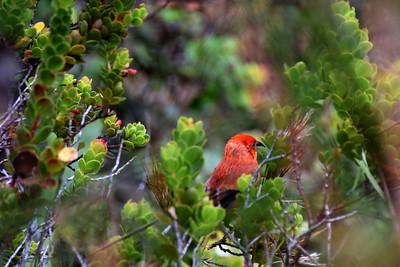 ʻApapane bird  near Kilauea Volcano