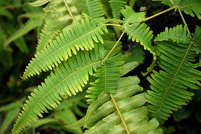 Rainforest Ferns