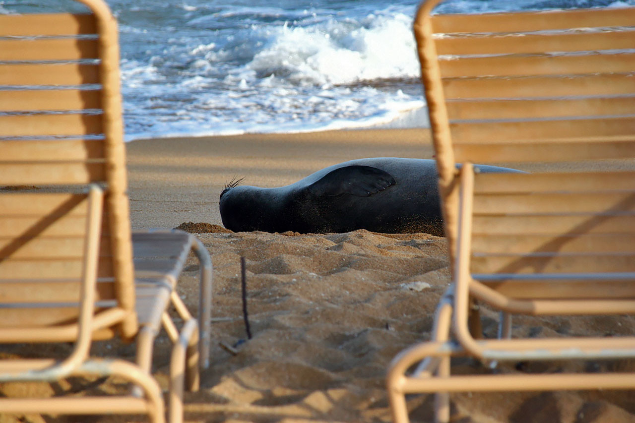 Monk Seal resting on the shores of Kapa'a. Kaua'i