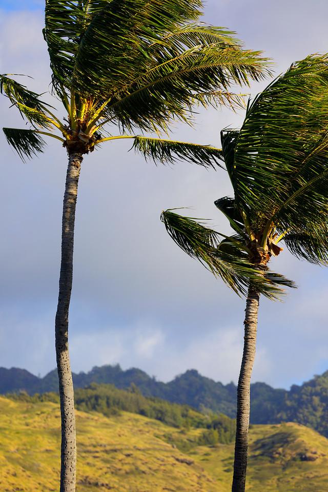Stock photo of Hawaiian palm trees