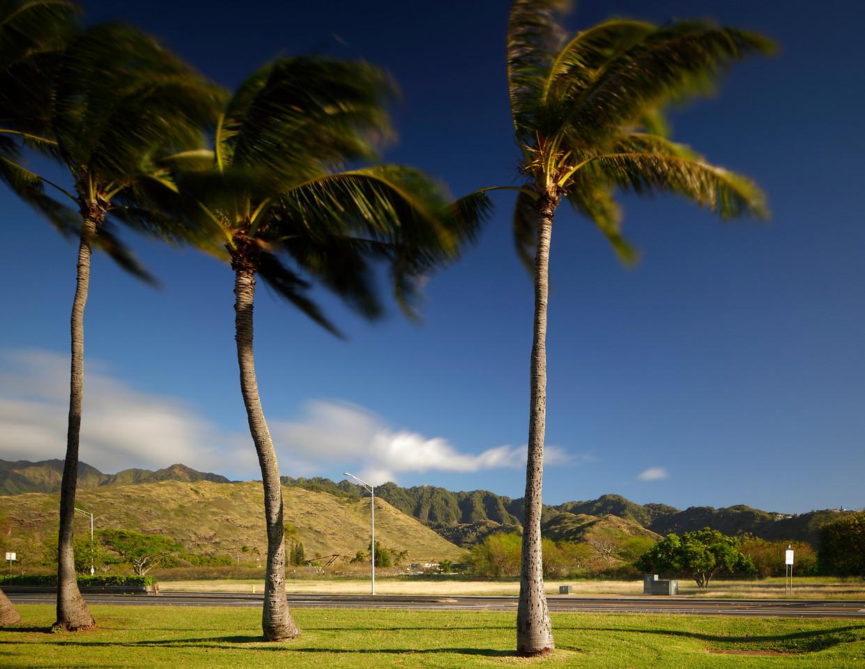 Hawaiian palms in the wind