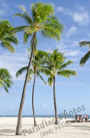 Palm trees Waikiki  0912 5023