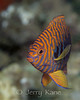 Potter's Angelfish (Centropyge potteri) - Kahe Point, Oahu, Hawaii