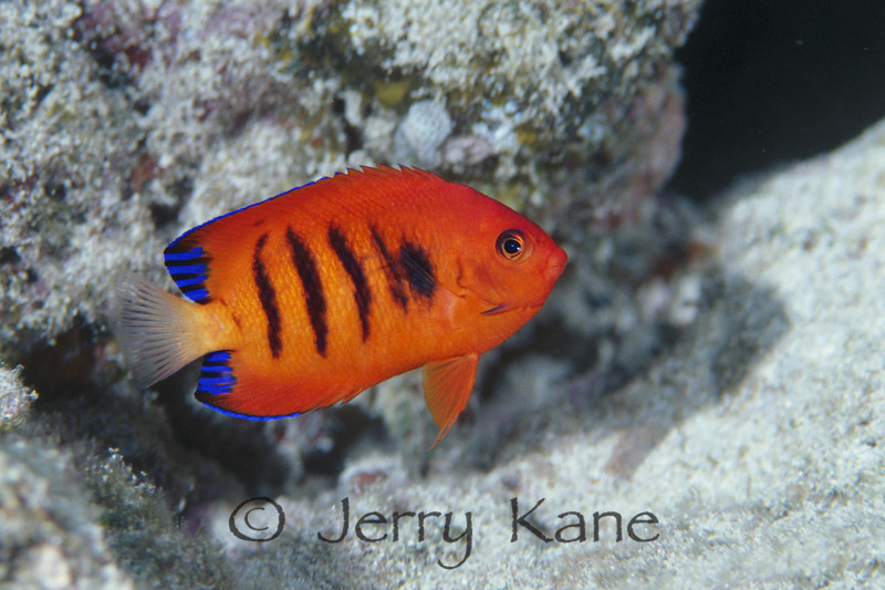 Flame Angelfish (Centropyge loriculus) - Yokohama Beach, Oahu, Hawaii