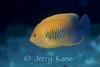 Potter's Angelfish (Centropyge potteri) - Oahu, Hawaii