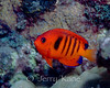 Flame Angelfish (Centropyge loricula) - Kaiwi Point, Big Island, Hawaii
