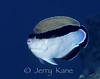 Bandit Angelfish (Apolemichthys arcuatus) - Big Island, Hawaii