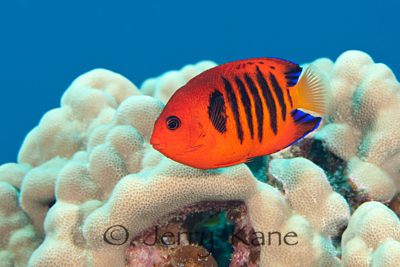 Flame Angelfish (Centropyge loriculus) - Kaohe Bay, Big Island, Hawaii