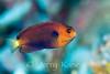 Fisher's Angelfish (Centropyge fisheri) - Hookena, Big Island, Hawaii