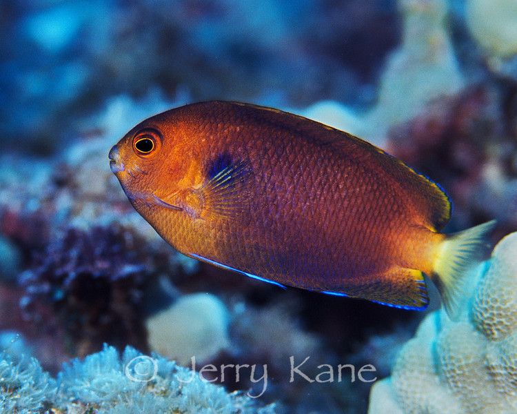 Fisher's Angelfish (Centropyge fisheri) - Big Island, Hawaii