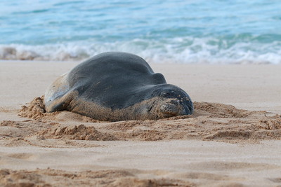 Hawaiian Monk Seal, Pipemaster's 2018