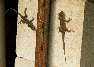 Two Anole at Bob's Beach