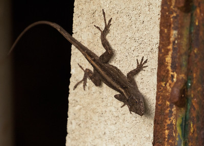 Anole at Bob's Beach