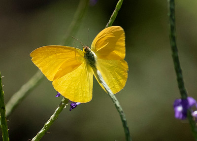 Hawaiian Yellow Sulpher Butterfly