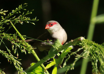 Waxbill Feeding on Grasses