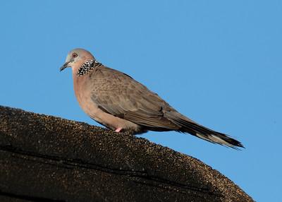 European Collered Dove