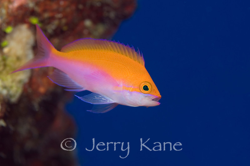 Bicolor Anthias (Pseudanthias bicolor) - Pebble Beach, Big Island, Hawaii