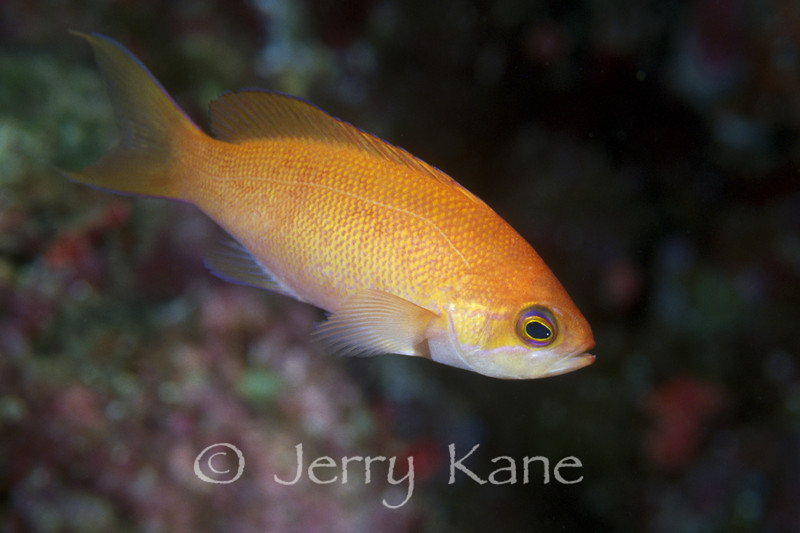 Thompson's Anthias, female (Pseudanthias thompsoni) - Pupukea, Oahu, Hawaii