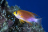 Hawaiian Longfin Anthias, male (Pseudanthias hawaiiensis) - Honaunau, Big Island, Hawaii