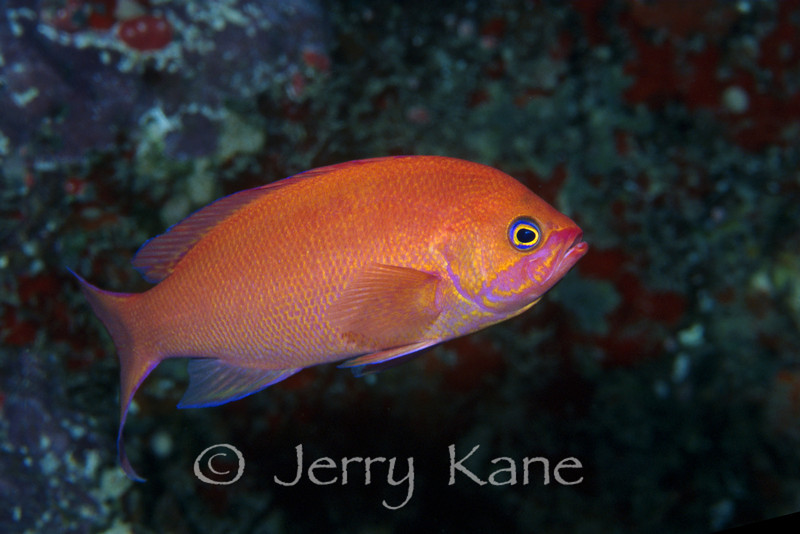 Thompson's Anthias, male (Pseudanthias thompsoni) - Maili, Oahu, Hawaii