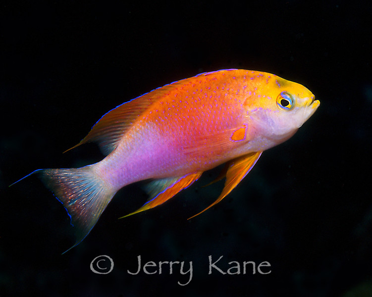 Hawaiian Longfin Anthias, male (Pseudanthias ventralis) - Big Island, Hawaii