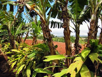 11 Dole Pineapple Plantation