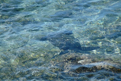 Honu - Hawaiian green sea turtle