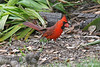Northern Cardinal~Male