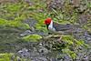 Yellow-billed Cardinal~Male