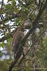 'I O or Hawaiian Hawk