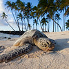Green Sea Turtle Resting