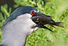 Black-crowned Night Heron gulping a fish~Hamakua Wetlands, Kailua