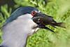 Black-crowned Night Heron gulping a fish~Hamakua Wetlands, Kailua