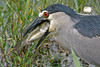 Black-Crowned Night Heron ready to swallow fish