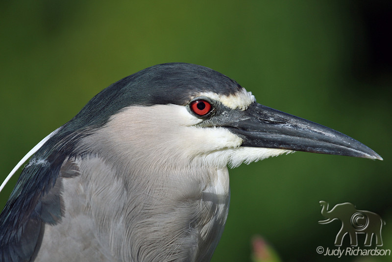 Catching the eye of a Black-crowned Night Heron
