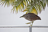 Immature Black-crowned Night heron creeping along fence