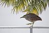 Immature Black-crowned Night heron creeping along fence
