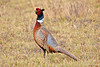 Ring-necked Pheasant on the Big Island ~ Hawai'i