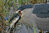 Black-crowned Night Heron positioning fish at Hamakua Wetlands, Kailua, Hawai'i