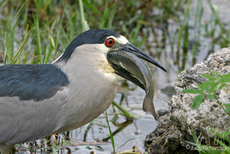 Black-crowned Night Heron turning fish