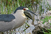 Black-crowned Night Heron turning fish