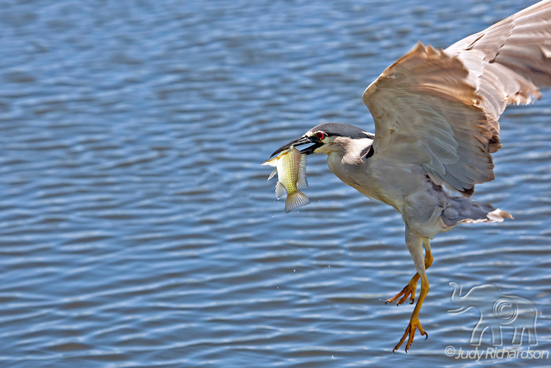 Black-Crowned Night Heron flying away with fish.