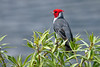 Red-crested Cardinal~Hamakua Wetlands, Kailua