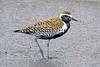 Koleaor Pacific Golden Plover in breeding plumage