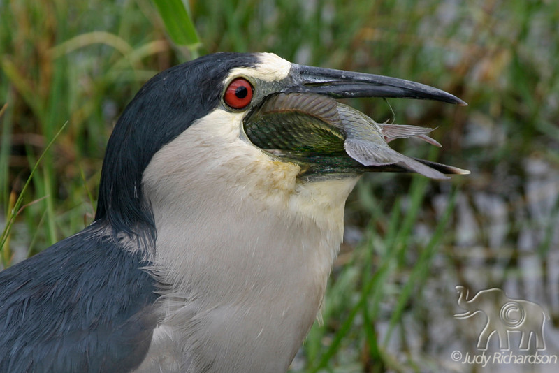 BCNHeron jaw wide open to accept fish