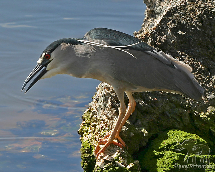 Black-Crowned Night Heron fishing off rock in Enchanted Lake, Kailua, Hawai'i
